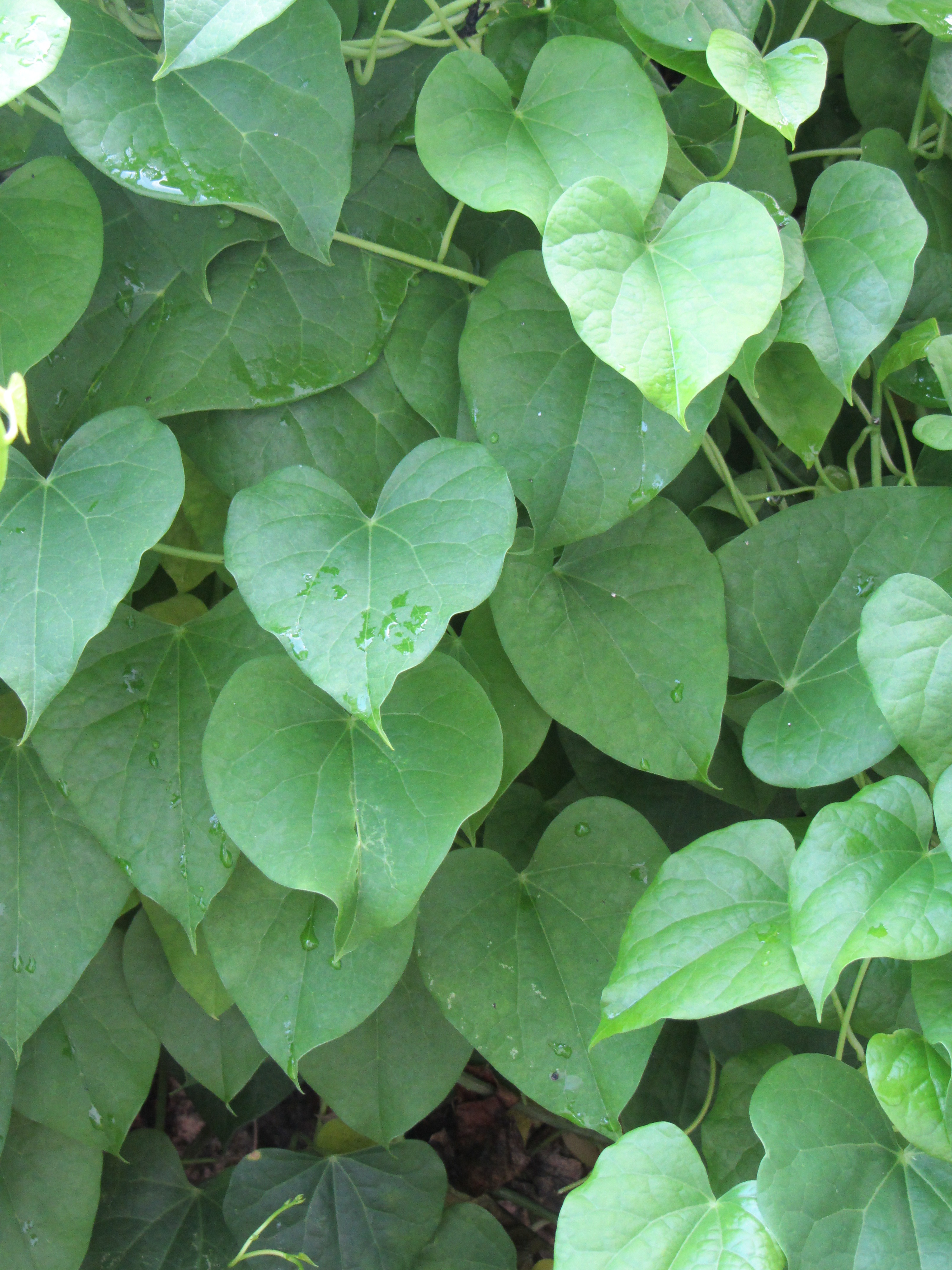 Guduchi -Tinospora cordifolia: Plant description, Action ...